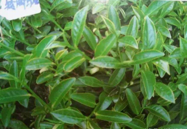 Dwarf oolong tea tree