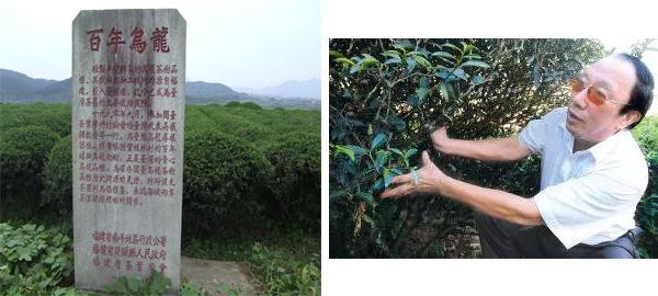 ai jiao wu long in Imperial Tea Garden