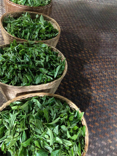 Fresh leaf to make Xi Gui