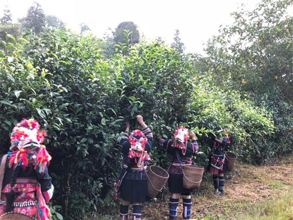 Harvest of Gu Hua Cha 1