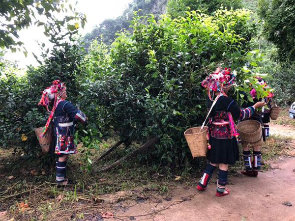 Harvest of Gu Hua Cha 2