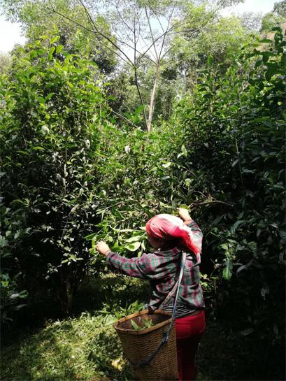 Harvest of Gu Hua Cha 4