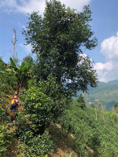 Harvest of Gu Hua Cha 5