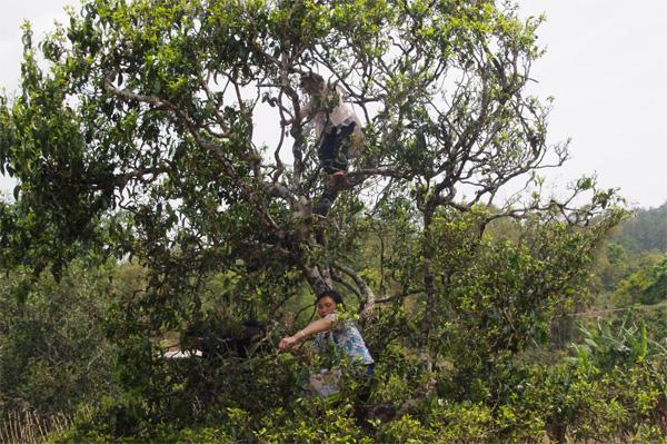Old Tea Tree