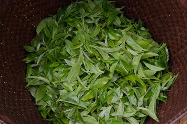 Old tea leaf
