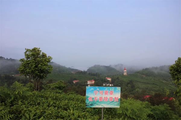 Organic Tea Garden Management 2