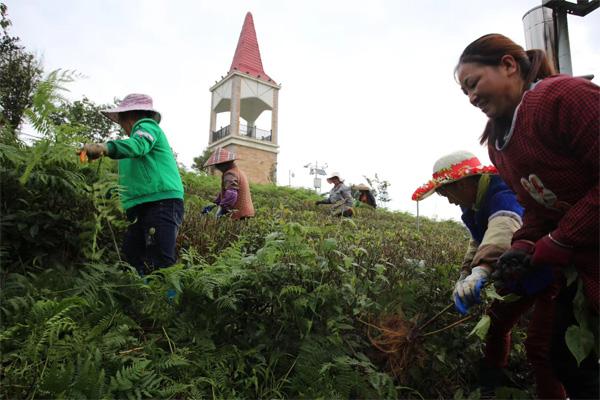 Organic Tea Garden Management 3