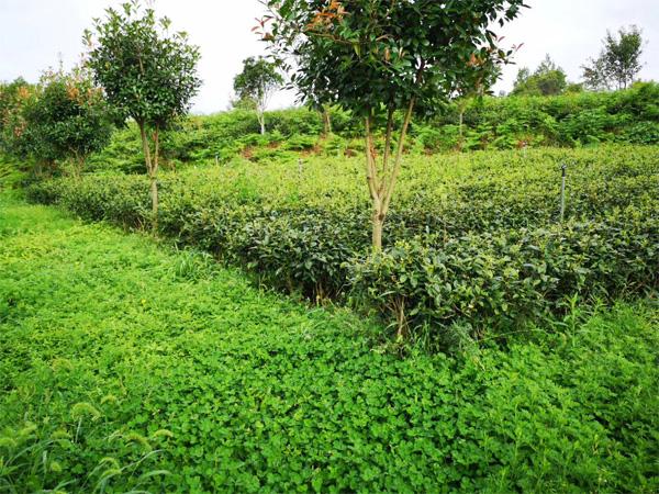 Organic Tea Garden Management 5