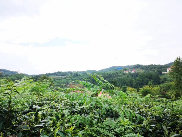 Organic Tea Garden Management 6