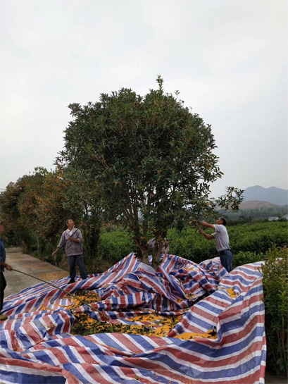 The Harvest of Organic Osmanthus Flower 2
