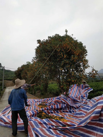 The Harvest of Organic Osmanthus Flower 1