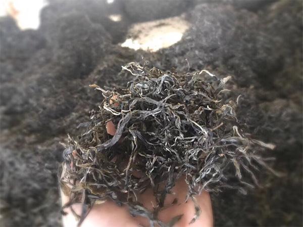 The Pile Fermentation of Old Tree Pu-erh Tea