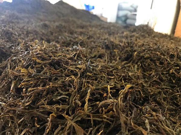 The Pile Fermentation of Old Tree Pu-erh Tea 4