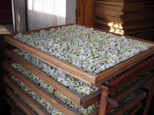 Chrysanthemum 3