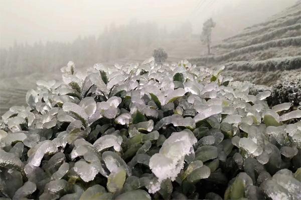 Frozen Tea Garden 1