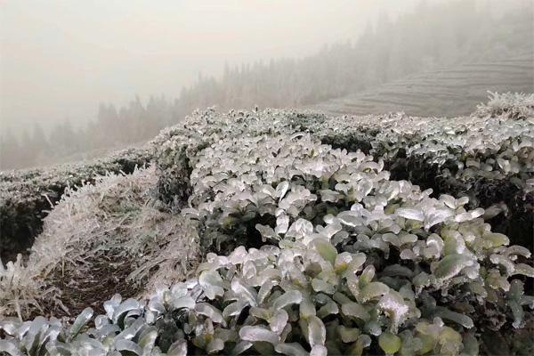 Frozen Tea Garden 2