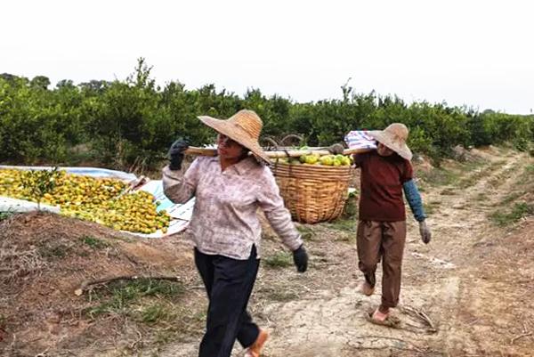The harvesting of Cha Zhi Gan 4