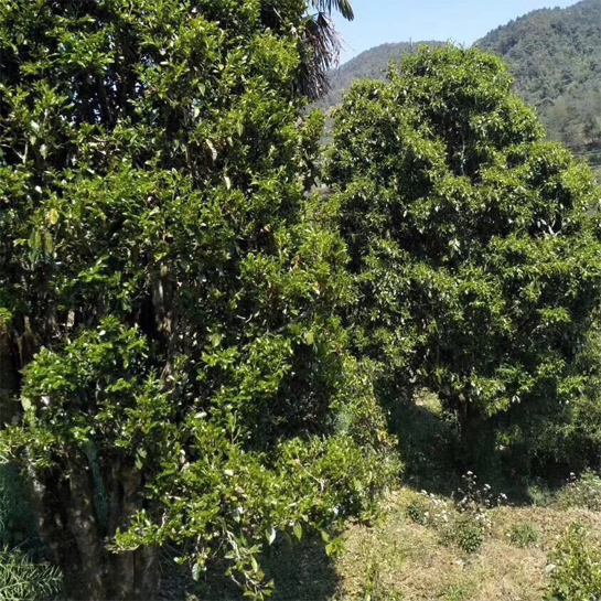 A Taste of 2018 Wild Tree Yunnan Black Tea 3