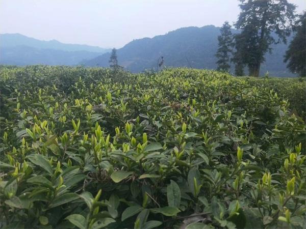 A High Mountain Tea Garden in middle of March 2019 1