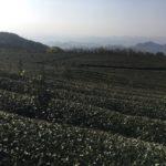 High Mountain Tea Garden 2