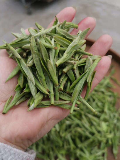 The fresh leaf material to process top grade Bai Mu Dan 2