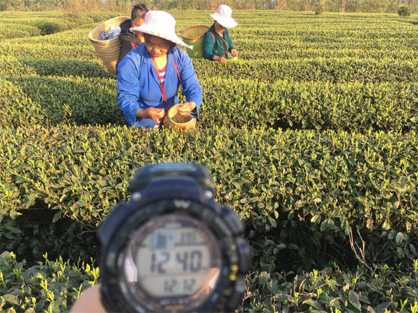 Tea Plucking in the high mountain tea garden 1