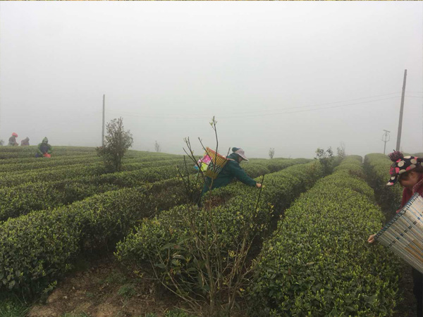 Tea Plucking in the high mountain tea garden 3