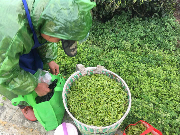 Tea Plucking in the high mountain tea garden 4