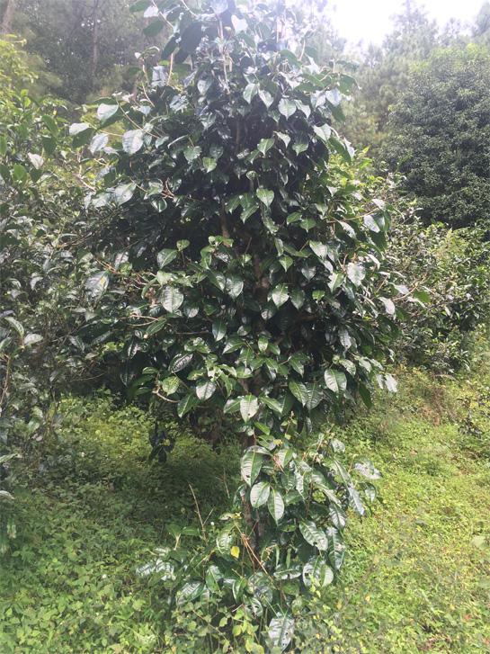 Wild Tea Tree 2