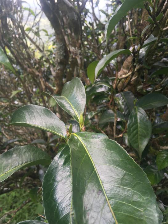 Wild Tea Tree 3