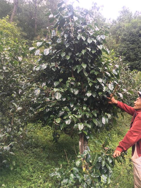 Wild Tea Tree 4