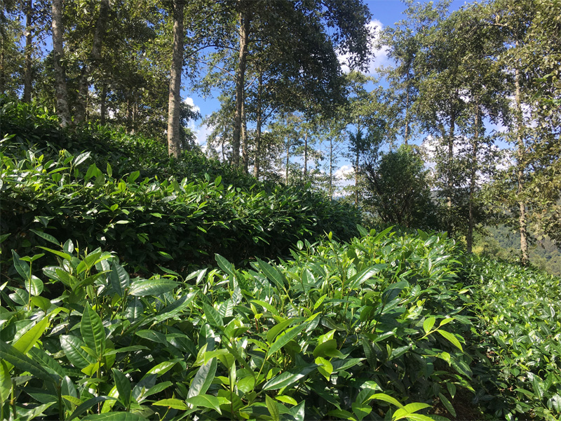 Organic Dian Hong Tea Garden 2