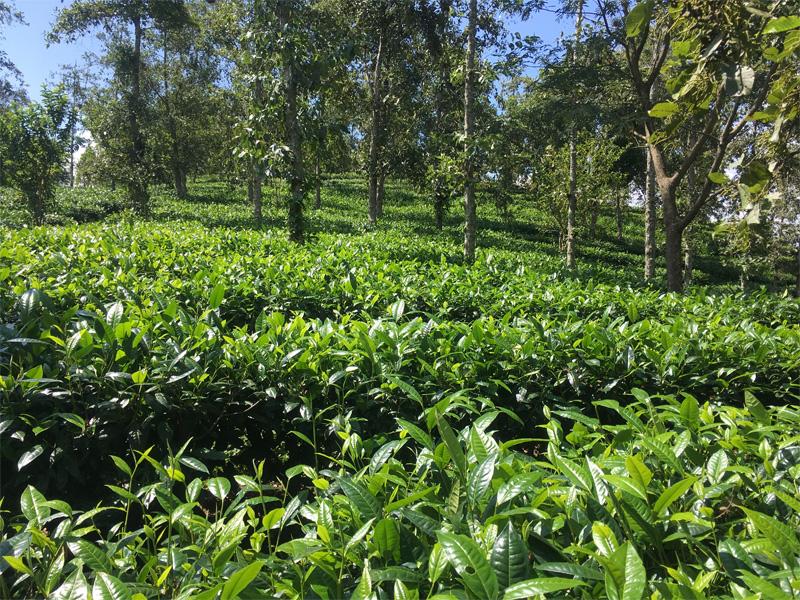 Organic Dian Hong Tea Garden 3