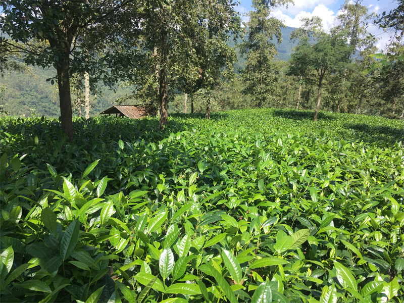 Organic Dian Hong Tea Garden 4