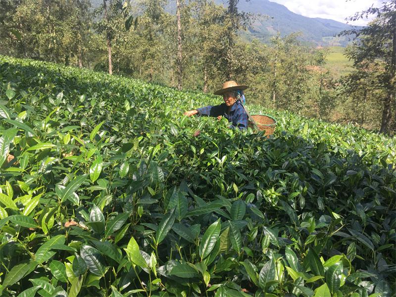 Organic Dian Hong Tea Garden 5