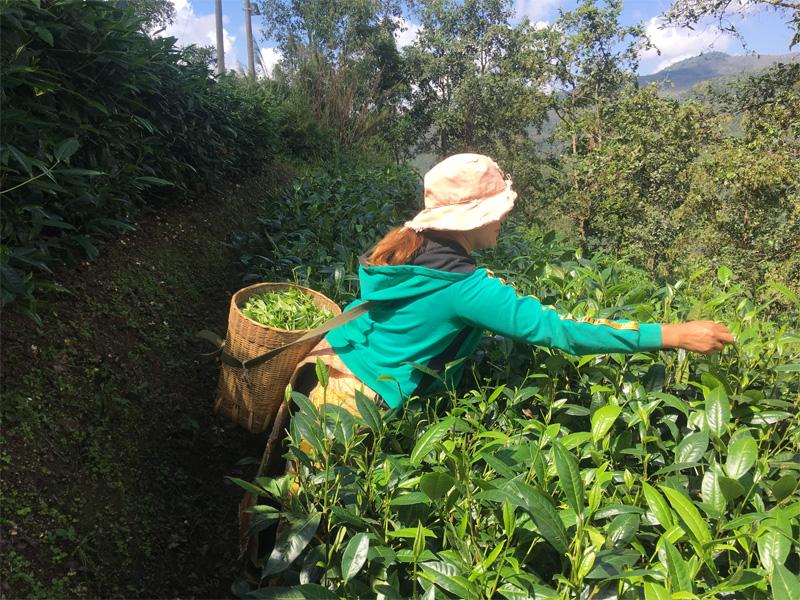 Organic Dian Hong Tea Garden 6