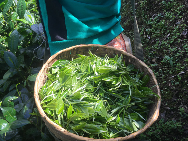 Organic Dian Hong Tea Garden 8