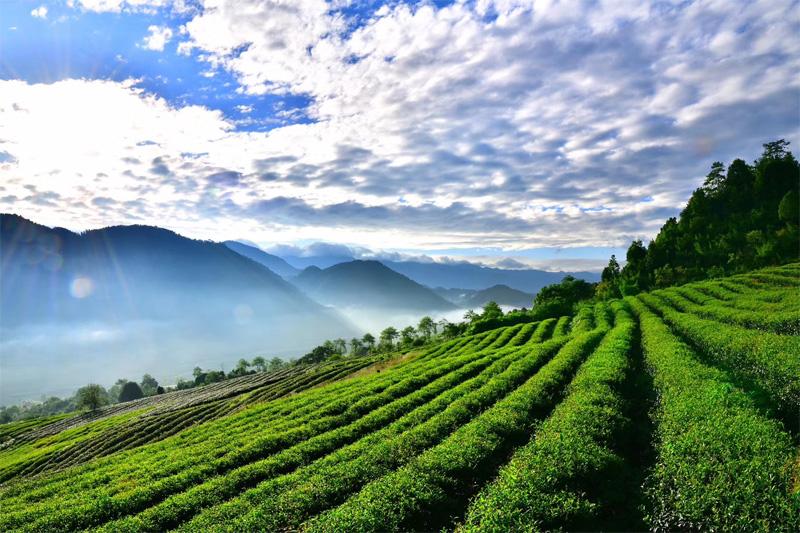Organic Wuyi Oolong 1