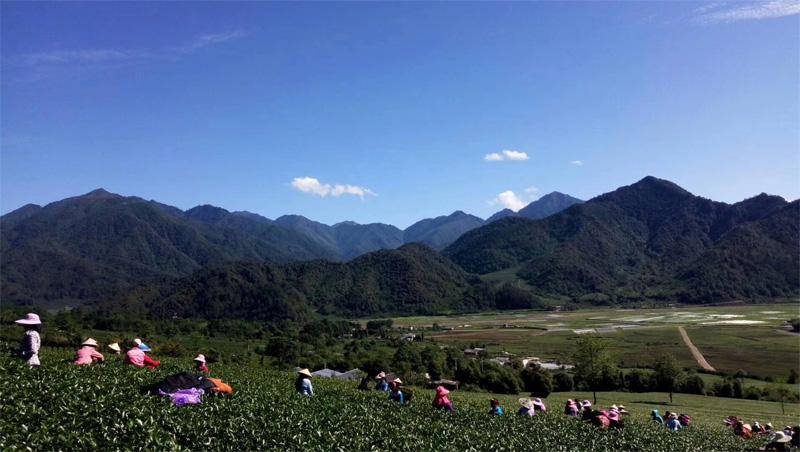 Organic Wuyi Oolong 10