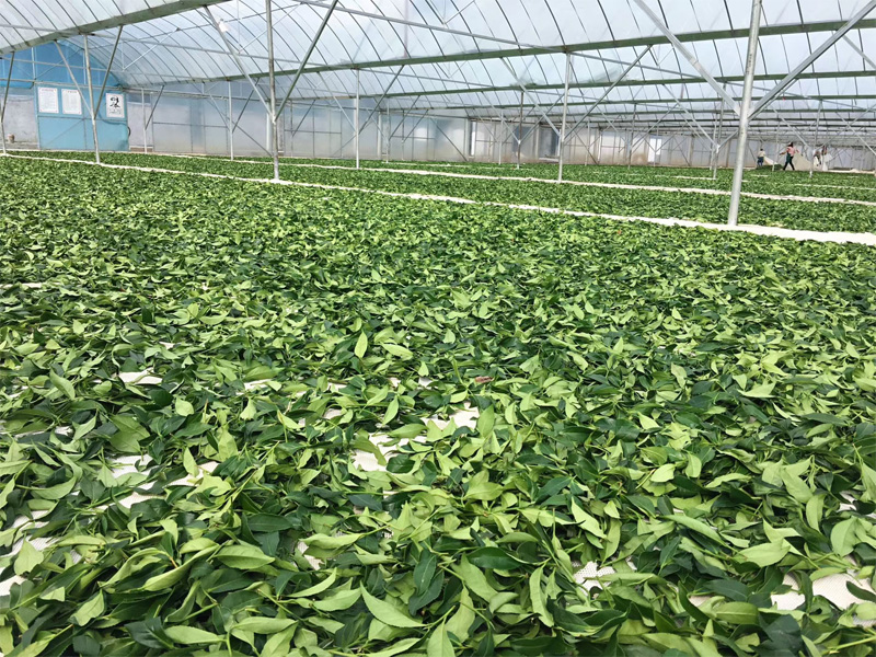 Organic Wuyi Oolong 11