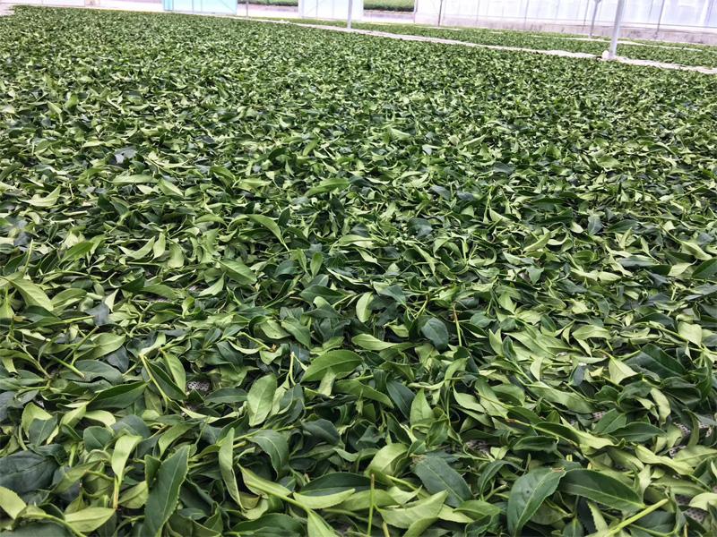Organic Wuyi Oolong 13