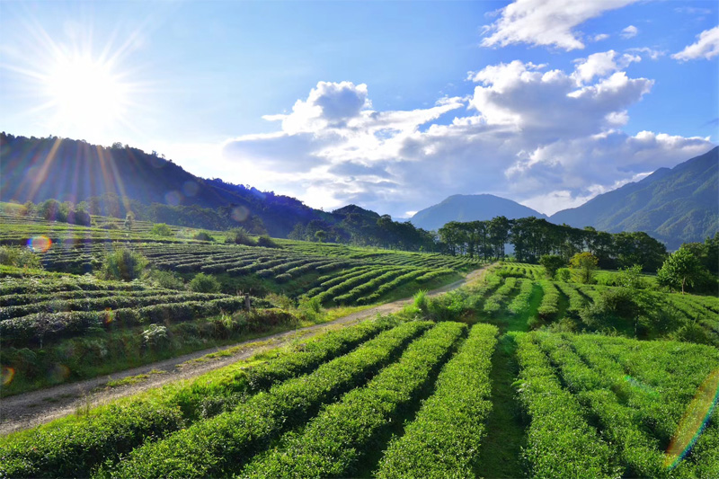 Organic Wuyi Oolong 3