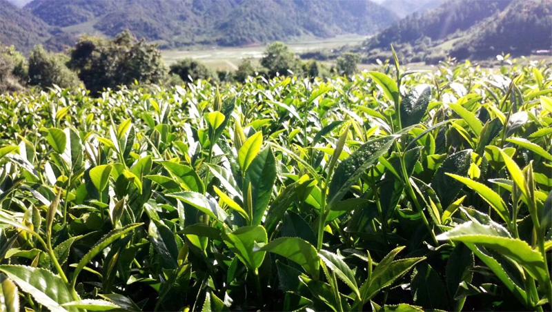 Organic Wuyi Oolong 6