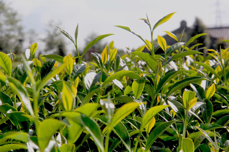 Organic Wuyi Oolong 7