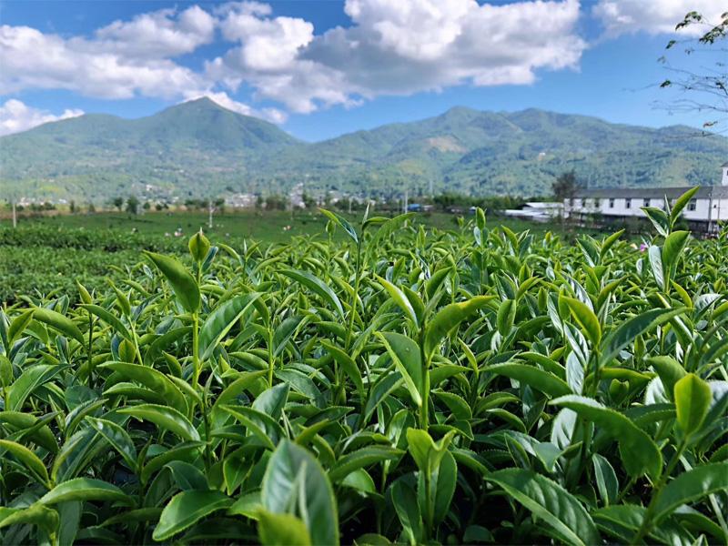Organic Wuyi Oolong 9