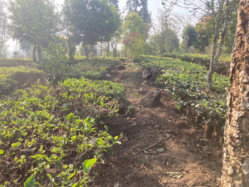 Organic Yunnan Green Tea 10
