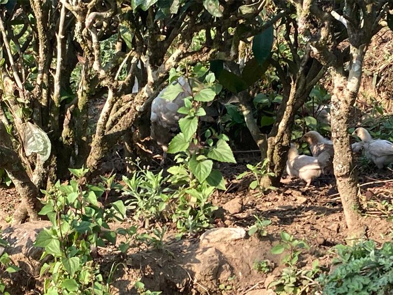 Organic Yunnan Green Tea 11