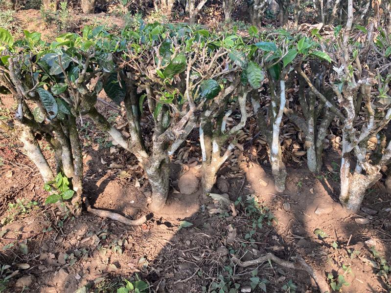 Organic Yunnan Green Tea 13