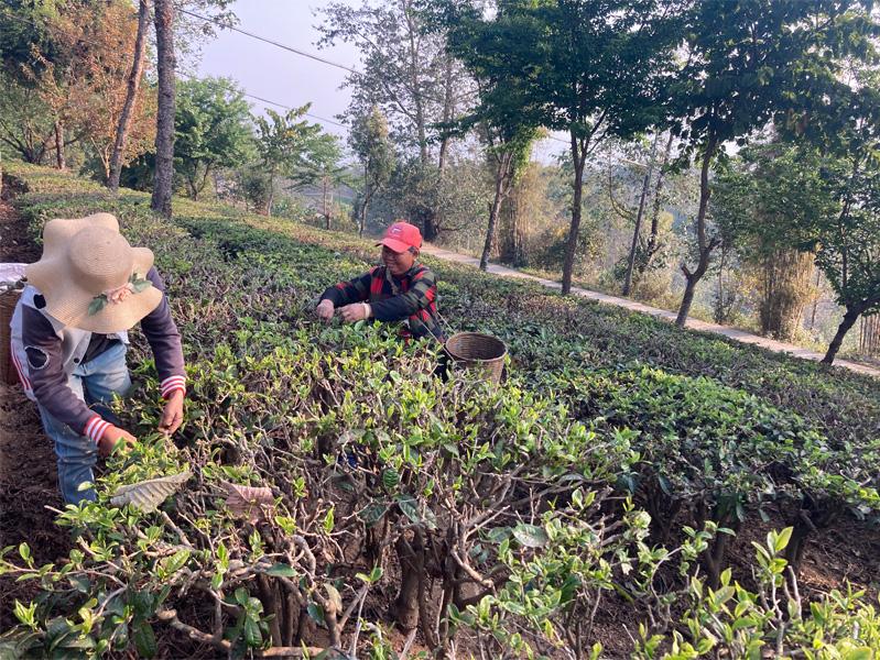 Organic Yunnan Green Tea 15