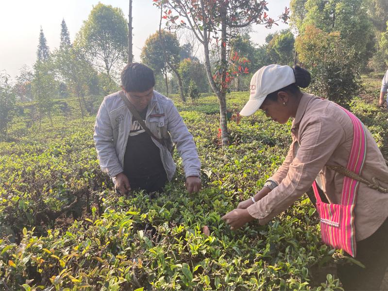 Organic Yunnan Green Tea 16